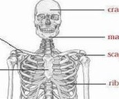 Head part of the skeletal system