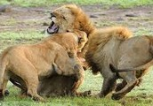 Lion family fighting