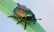 Japanese Beetle or Popillia Japonica