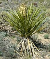 Yucca Schidigera