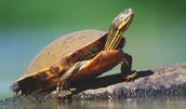 A Turtle is a land organism of the Lumber River Basin.