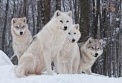 Wolves Together