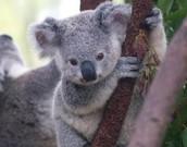 koalas only