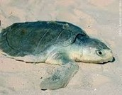 Kemp's Ridley Sea turtle   (AKA Lepidochelys kempii)