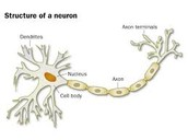 Another picture of a neuron, this time showing myelin