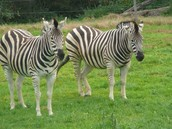 Lots of Stripes!