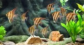 ANGLE FISH