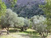 עצי הזיתים במושבה