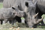 A baby Black Rhino with its mother