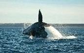 How do whales breathe?