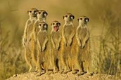 This is a Meerkat family.