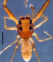 Scopocira carinata; a jumping spider