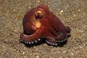 An Octopus resting