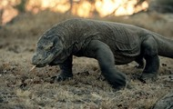 The Komodo Dragon's speed is very underestimated. The Komodo Dragon at top speed of the Komodo can reach 12 miles per hour.