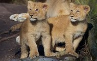 Asiatic Cubs
