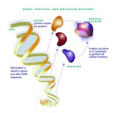 DNA produces proteins