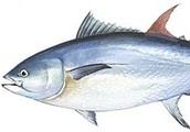 Bluefin Tuna Characteristics