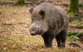 """Twenty-eight years after the Chernobyl nuclear disaster, it's effects are still being felt as far away as Germany-- in the form of radioactive boars."""