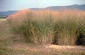 Switch grass is a plant in the grasslands.
