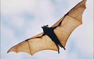 Bats wings