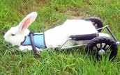 Albert the rabbit