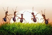 How are ants Important insects?