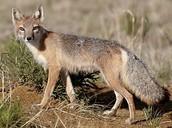 swift fox standing