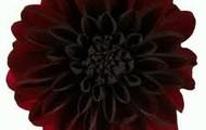 Black Dehlia