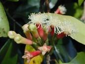 clove buds beginning to ripen