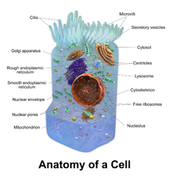 Eekaryotic Cell (Animal Cell)