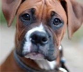 This a boxer