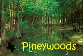 What are piney woods?