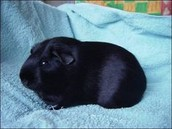 Hey black Guinea pigs are not bad .....