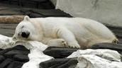 Pregnant Female Polar Bear
