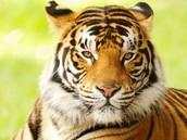 Classification for: Panthera Tigris Tigris
