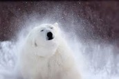 Polar Bear shaking off snow