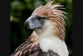 Philippians   eagle
