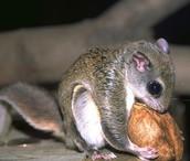 flying squirrel food