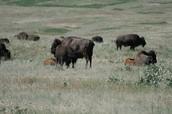 More buffalo at the National Bison Range