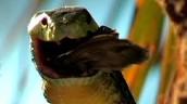 Black Mamba Eating Bird