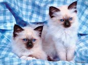 Luna and Lulu Are Kawaii Kittens for sell