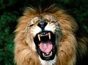 Rour Lion Rour!