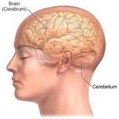 Side View Of Cerebellum