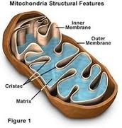 Structure Of Mitochondria