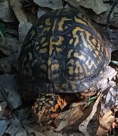 Our Box Turtle