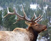 A moose or a elk is very  popular.