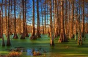 Cypress trees that grow in the swamp