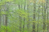 Rain in a Hardwood Forest