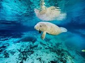 Manatees Do Not Live by Numbers Alone