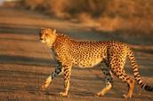 Is It a Cheetah?